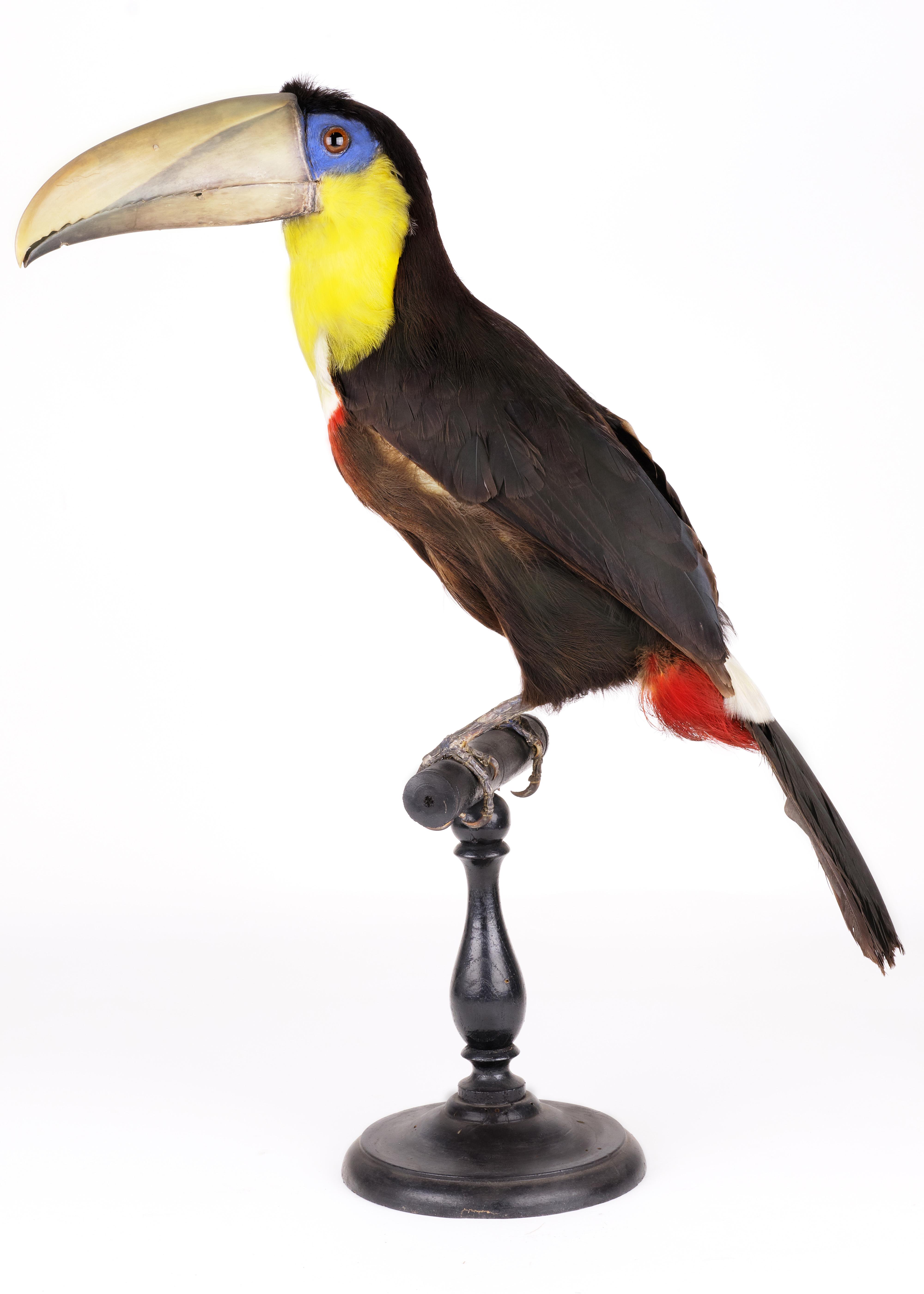 Toucan tocard ©8KStories